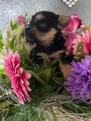 Yorkshire Terrier mix Welpen