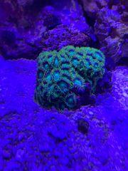 Koralle grüne zoa komplett