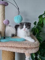 BKH Ragdoll Mix Kitten