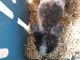 Kleintiere - Süsses Skinny Pig Meerschweinchen 5