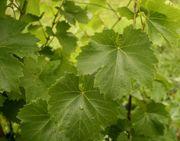 Frische ungespritze Weinblätter abzugeben zum