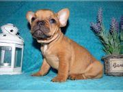 süße französische Bulldoggenwelpen