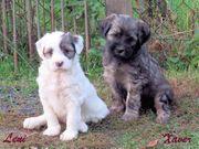Tibet Terrier Welpen in Thüringen