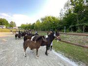 Shetland Pony - Tolle Hengst- und
