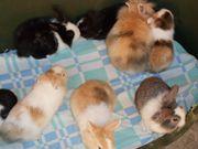Zwerg-Kaninchen