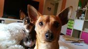 Chihuahua Rüde abzugeben