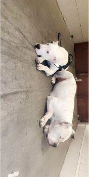 Junger Dogo Argentino Rüde