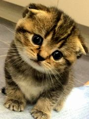 Bkh Scottish fold Kätzchen