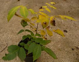 Bild 4 - Walnussbaum Walnuss junger Baum junge - Sinsheim