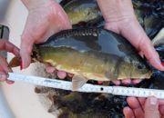 Spiegelkarpfen ca 30 - 35 cm