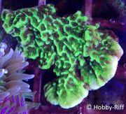 Meerwasser Korallen Montipora Confusa