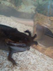 axolotl paar