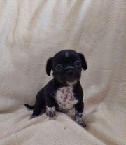 Reinrassiges Chihuahua Mädchen