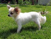 Chihuahua Hündin 1 Jahr reinrassig