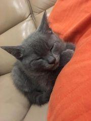 BKH Kitten zu verkaufen