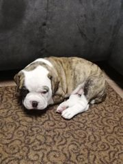 old English bulldog Boxer Mischling