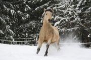 Quarter Horse Deckhengst