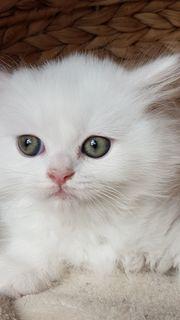 Perser-Kitten-Katzenbabies