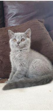 Reinrassig BKH kitten Blue mit