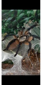 Vogelspinnen div