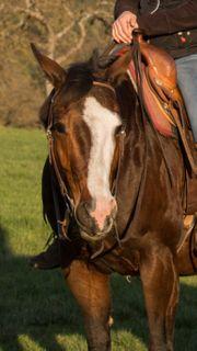 Reitbeteiligung auf Quarter Horse zu