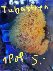 Korallenableger pro Polypen 5 -