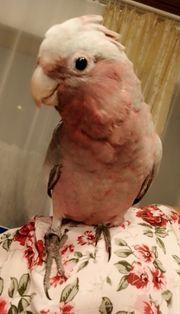 Rosakakadu Hahn 4 Monate alt