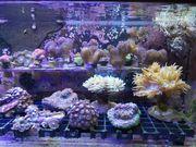 Meerwasser Korallen und Ableger SPS