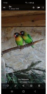 Schwarzkopchen Agaporniden junge paar