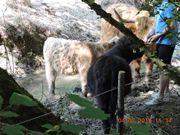 Highland Cattle Schottische Hochlandrinder