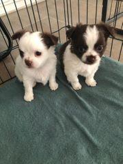 Chihuahua Welpen suchen ein neues