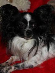Chihuahua Rüde 3 Jahre