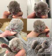 Reinrassige BKH Kitten in Lilac