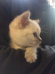 BKH BLH Point Kitten