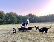 Landseer x Australian Shepherd Welpen