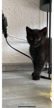 Babykatze Babykätzchen Kitten Katze abzugeben