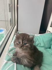 Wunderschönen reinrassigen BKH Kitten