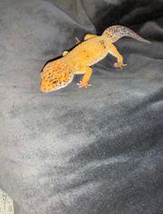 Leopardgecko männlich