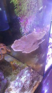 Montipora rot auf Magnet-Stein Meerwasser