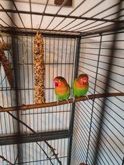 Pfirsichköpfchen Paar