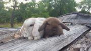 Zwergwidder Kaninchen Babys