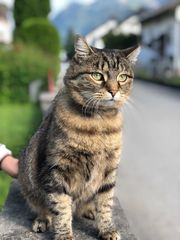 Katze Dreamy vermisst -100EUR Finderlohn