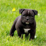 Bezaubernde Bulldog Welpen OEB American