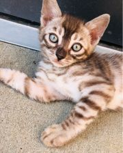 Bengal kitten Silver snow charcoal