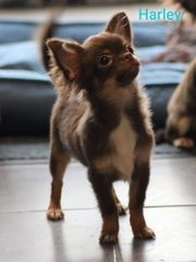 Hochtypvolle Chihuahua Rüden in Langhaar
