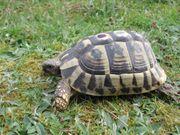 Zuchtgruppe Griechische Landschildkröten dalmatinische Lsk -