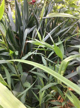 Pflanzen - Palmlilie Yucca