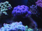 Meerwasser- Korallen - Stylophora Milka