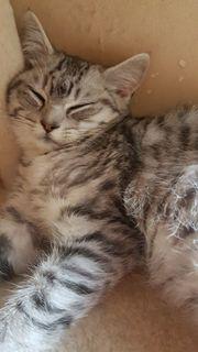 BKH-Perser-Mischung-Kitten