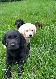 Labrador Welpen suchen ein liebevolles